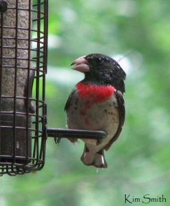 Rose-breasted Grosbeak by Kim Smith