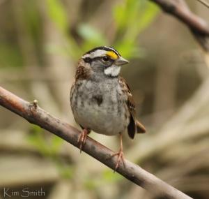 White-throated Sparrow by Kim Smith